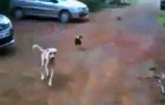 cachorro-vs-galo-1