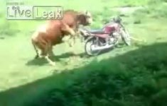 Videos Whatsapp – Boi tenta engravidar uma moto