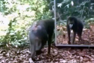 macaco-tomando-susto-espelho