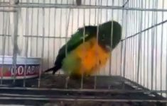 papagaio-capoerista