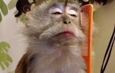 macaco-convencido