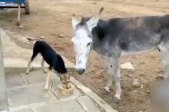 burro-thug-life