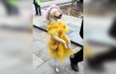 cachorro-andando