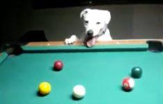cachorro-jogando-sinuca