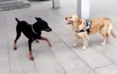 cachorro-capoeirista