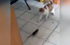 rato-perseguindo-gato