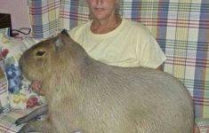 achei-que-era-um-porquinho-da-india