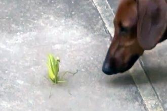 cachorro-vs-louva-a-deus