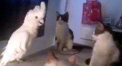 krakatoa imitando os gatos