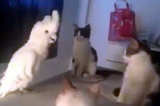 Gatos: Krakatoa imitando os gatos