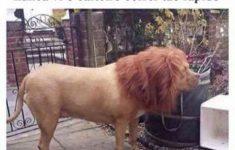 Peruca de leão no cachorro