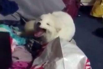 Cachorros: Marimbondo picou meu cachorro