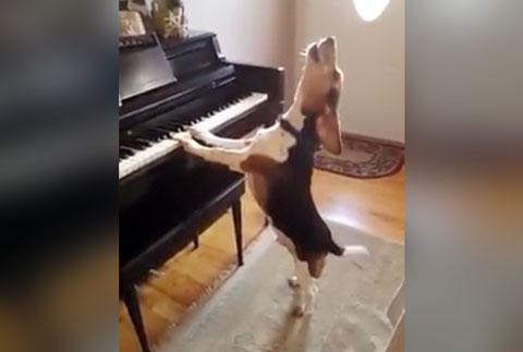 cachorro-cantor-tocando-piano