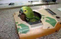 audio-piada-papagaio