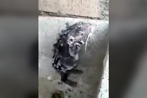 rato-tomando-banho