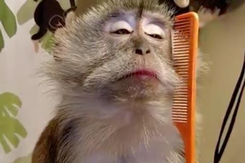 Macaco Convencido Se Penteando Vídeos Engraçados